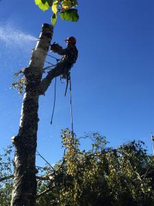 Vårdinge trädfällning, fäller träd.